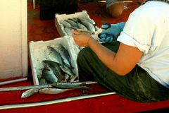 Fisherman cleans the fish on board the fishing boat Royalty Free Stock Image