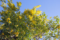 Ligurian springtime: Mimosa in flower and lemon tree Royalty Free Stock Images