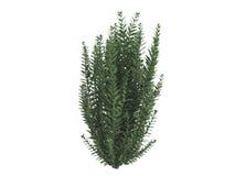 liguster för Kalifornien ligustrumovalifolium Arkivfoton
