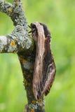 Ligusterfalke mothSphinx ligustri Lizenzfreie Stockbilder