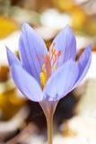 Ligusticus do açafrão Imagem de Stock Royalty Free