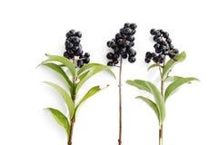 Ligustr, Ligustrum, jagody na gałązkach z rzędu Fotografia Stock
