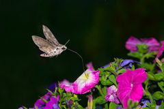 Ligustro Hawk Moth, ligustri della Sfinge Fotografia Stock