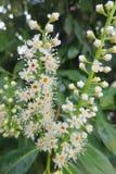 Ligustrowego kwiatu żywopłotu wiecznozielona roślina Obrazy Royalty Free