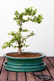 Ligustrum Bonsai Stock Photo