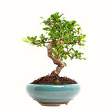 Ligustrum bonsai Royalty Free Stock Image