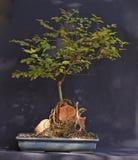 Ligustrum dei bonsai Fotografia Stock