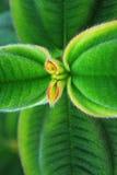 Ligustrum Japonicum. Gorgeous ligustrum japonicum plant macro (very shallow DOF Royalty Free Stock Photo