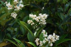 Ligustrum japonicum Japanese privet. Ligustrum japonicum / Japanese privet / Wax-leaf privet royalty free stock image