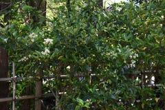 Ligustrum japonicum Japanese privet. Ligustrum japonicum / Japanese privet / Wax-leaf privet stock images