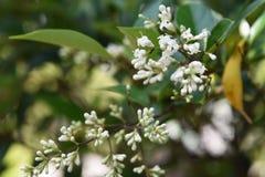 Ligustrum japonicum Japanese privet. Ligustrum japonicum / Japanese privet / Wax-leaf privet stock photos
