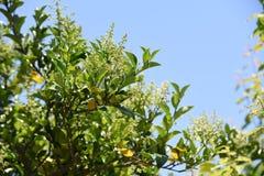 Ligustrum japonicum Japanese privet. Ligustrum japonicum / Japanese privet / Wax-leaf privet royalty free stock photos