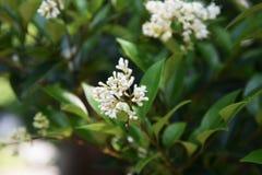 Ligustrum japonicum Japanese privet. Ligustrum japonicum / Japanese privet / Wax-leaf privet royalty free stock photo