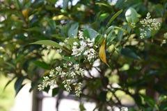 Ligustrum japonicum Japanese privet. Ligustrum japonicum / Japanese privet / Wax-leaf privet stock image