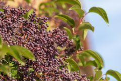 Ligustrum lucidum Arboreal Aligustre of Japan. Close-up of the tree and its fruit stock photo