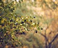 Ligustrum vulgare dojrzewający zdjęcie stock