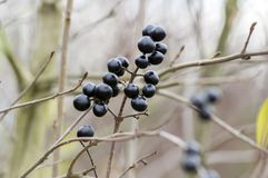 Ligustrum vulgare ripened black berries fruits on shrub branches. Autumn time Stock Image
