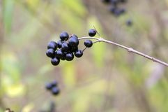 Ligustrum vulgare ripened black berries fruits on shrub branches. Fall time Stock Photo