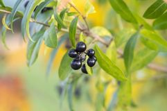 Ligustrum vulgare ripened black berries fruits, shrub branches with leaves, autumn colors in sunlight Stock Photography