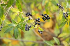 Ligustrum vulgare ripened black berries fruits, shrub branches with leaves, autumn colors in sunlight. Fall season Royalty Free Stock Photo