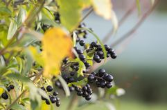 Ligustrum vulgare ripened black berries fruits, shrub branches with leaves, autumn colors in sunlight. Fall time Royalty Free Stock Images