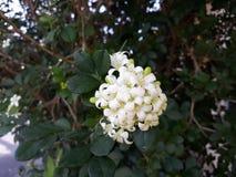 LigustrumVulgare blomma i trädgården fotografering för bildbyråer