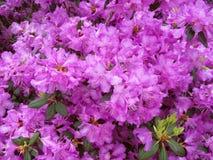 Liilac cor-de-rosa imagens de stock