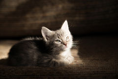 Liitle grey striped cat lying on sofa, indoor Royalty Free Stock Photo