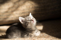 Liitle grey striped cat lying on sofa, indoor Stock Photos