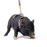 Liitle piggy Royalty Free Stock Photos