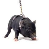 Liitle piggy Lizenzfreie Stockfotos