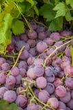 Lijiang, виноградины плодоовощ здоровой еды Юньнань Shuhe ------- Стоковое Изображение RF