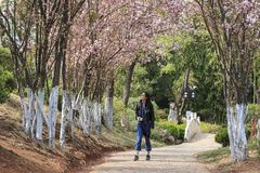 Attractive young Chinese woman walking under cherry trees in fool bloom in Lijiang, Yunnan - China. Lijiang, China - March 23, 2018: Attractive young Chinese stock photos