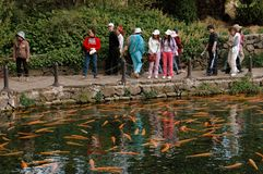 Lijiang Twp, China: Giant Carp in Temple Pond Royalty Free Stock Image