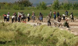 Lijiang, Twp, China: Workers in Field. A work crew with hoes, shovels, and a wheelbarrow clearing a field next to drying stalks of yellow Rapeseed oil plants in Stock Images