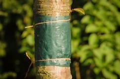 Lijmband rond de boomstam van een boom wordt gebonden die Stock Foto's