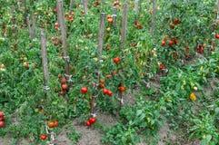 Lijn die van Tomatenstruiken in de tuin groeien Royalty-vrije Stock Afbeelding