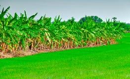 Lijn van banaaninstallatie Stock Fotografie