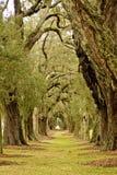 Lijn van Eiken Bomen aan Afstand Stock Foto's