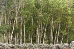 Lijn van espbomen op rand van bos stock afbeelding
