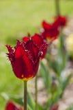 Lijn van het slaan van tulpen Stock Afbeeldingen
