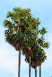 Lijn van Palmyra-palm Royalty-vrije Stock Foto's