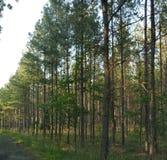 Lijn van Pijnbomen stock foto