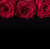 Lijn van rozen Royalty-vrije Stock Afbeelding