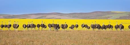 Lijn van Struisvogels Stock Afbeeldingen
