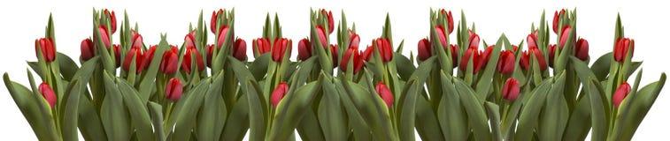 Lijn van tulpen op wit stock afbeeldingen