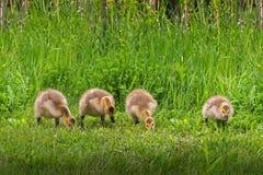 Lijn van Vier Gansjes (Branta-canadensis) Royalty-vrije Stock Foto's