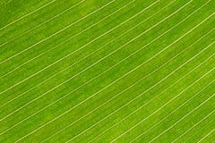 Lijnen en texturen van de groene bladeren van de cannalelie royalty-vrije stock afbeelding
