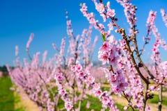 Lijnen van bloeiende amandelbomen tegen blauwe hemel Stock Fotografie