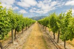 Lijnen van druiven bij een wijngaard Royalty-vrije Stock Afbeelding